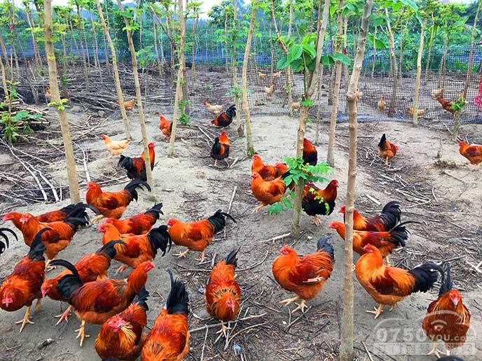 绿雅生活体验农场可以摘无花果和吃无花果鸡的农场。  整个农场种满无花果,元旦过后就没有无花果摘了,直到7月份才有。  这里的无花果特别大只,比新会双水的无花果园要大只得多,可能是这里的山水不同吧。  2015年12月13日,全家总动员,开工了。  好在来得早,还有很多熟的无花果可以摘,冬天太冷了,无花果比较难熟,夏天超级多。  今天的收获真不少,这里已经有3斤了,100元有得玩有得吃,最重要是孩子们开心。  女儿跟表哥来张合照,挺专业的儿童模特。  绿雅农场的无花果很大只,现场SHOW给你看。  农场的无