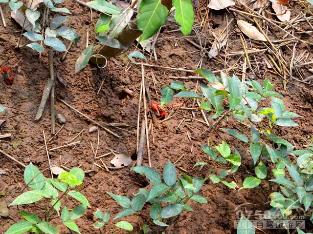 泥地里的西瓜蟹